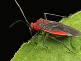 Plant Bug (Prepops), Order Hemiptera, Family Miridae, New Hampshire, USA Photographic Print by David Wrobel
