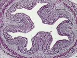 Cross Section of a Human Esophagus of a 29 Week Fetus Lined by Stratified Epithelium, LM X26 Photographic Print by Gladden Willis