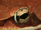 Wood Frog (Rana Sylvatica), Eastern and Northern North America, Close-Up of Eye Lmina fotogrfica por David Wrobel