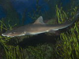 Grey Smoothhound Shark (Mustelus Californicus), La Jolla, California, USA, Aquarium Specimen Photographic Print by Andy Murch