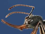 Ant Head (Harpegnathos Venator) Photographic Print by Solvin Zankle