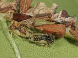 Treehopper Nymphs and Adults (Entylia Carinata), Order Hemiptera, Family Membracidae, New Hampshire Photographic Print by David Wrobel