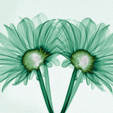 X-Ray of Gerber Daisies Photographic Print by George Taylor