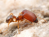 Supermajor Ant (Pheidole Tepicana) Photographic Print by Alex Wild
