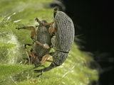 Hollyhock Weevil Male and Female Pair Mating (Apion Longirostre), Family Brentidae, New Hampshire Lmina fotogrfica por David Wrobel