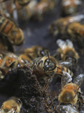Propolis Is Malleable and Very Sticky When Warm But it Becomes Very Hard and Easily Breaks Photographic Print by Eric Tourneret