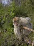 Barbary Macaque (Macaca Sylvanus), Captive Photographic Print by Dave Watts