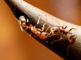 Acacia Ant (Pseudomyrmex Spinicola) Nest Mates Evaluate Each Other at the Nest Entrance Photographic Print by Alex Wild