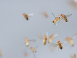 Wild Type Fruit Flies in Flight (Drosophila Melanogaster) in a Lab Culture Photographic Print by Solvin Zankl