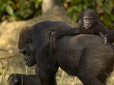 Western Lowland Gorilla (Gorilla Gorilla Gorilla) Mother and Young, Captive Photographic Print by Dave Watts
