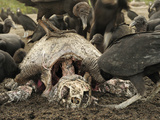 Black Vultures (Coragyps Atratus) Scavenging on Carcass of an Olive Ridley Sea Turtle Photographic Print by Solvin Zankl