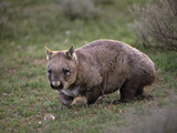 Southern Hairy-Nosed Wombat (Lasiorhinus Latifrons), Victoria, Australia Photographic Print by Dave Watts
