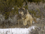 Gray Wolf (Canis Lupus) Running in Snow Photographic Print by Dave Watts