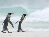 King Penguins (Aptenodytes Patagonicus) Walking on a Sandy Beach, Falkland Islands Photographic Print by Solvin Zankl