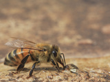 Near a Pond's Edge, a Water Carrier Worker Honey Bee Collects the Liquid for the Hive Photographic Print by Eric Tourneret