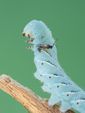 A Hornworm (Manduca) Rears Up When Attacked by a Parasitic Cotesia Wasp Photographic Print by Alex Wild