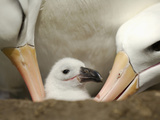 Black-Browed Albatross Chick Being Tended in the Nest by Two Adults Photographic Print by Solvin Zankl