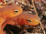 Red Eft Heads (Notophthalmus Viridescens), the Terrestrial Phase of the Eastern Newt, Eastern USA Photographic Print by David Wrobel