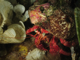 Hermit Crab (Dardanus Arrosor) and Parasitic Anemone (Calliactis Parasitica) Mediterranean Sea Photographic Print by Solvin Zankl