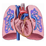 This Labeled Stock Illustration Reveals an Anterior Cut-Away View of the Heart and Lungs Giclee Print by  Nucleus Medical Art