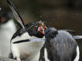 Rockhopper Penguin (Eudyptes Chrysocome) Taking Freshwater Bath and Showing Aggression Photographic Print by Solvin Zankl
