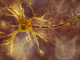 Biomedical Illustration of a Neuron, Showing the Dendrites, Cell Body, and Axon Photographic Print by Carol & Mike Werner