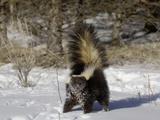 Striped Skunk (Mephitis Mephitis) in Snow with Tail Raised Ready to Spray, USA Photographic Print by Dave Watts
