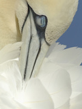 Close Up of a Northern Gannet Grooming its Feathers, Scotland, UK Photographic Print by Solvin Zankl