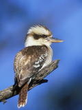 Laughing Kookaburra (Dacelo Novaeguineae), Victoria, Australia Photographic Print by Dave Watts