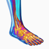 Human Ankle Showing Bones and Muscles Photographic Print by Carol & Mike Werner