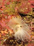Tube Worm (Protula Tubularia), Mediterranean Sea, San Pietro Island, Sardinia Photographic Print by Solvin Zankl
