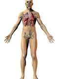 Human Male Figure Showing Respiratory and Skeletal Systems Photographic Print by Carol & Mike Werner