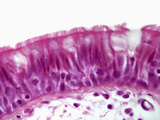 Trachea Epithelium Section, H&E Stain, LM X560 Photographic Print by Alvin Telser