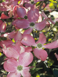 Flowering Dogwood in Bloom (Cornus Florida Forma Rubra), Cherokee Chief Variety Photographic Print by Consumer Institute/NSIL