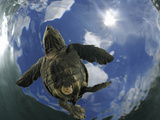 A Young Olive Ridley Sea Turtle (Lepidochelys Olivacea) Swimming Away from the Beach Photographic Print by Solvin Zankl