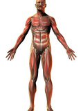 Human Male Figure Showing Muscular System Photographic Print by Carol & Mike Werner