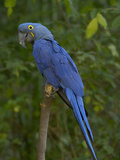 Hyacinth Macaw (Anodorhynchus Hyacinthinus), Captive Photographic Print by Dave Watts