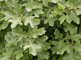 Bear Oak (Quercus Ilicifolia) Photographic Print by  Scientifica