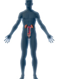 Human Male Figure Showing Urinary System Photographic Print by Carol & Mike Werner