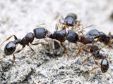 Neighboring Nests of Tetramorium Pavement Ants Often Fight Extended Territorial Battles Photographic Print by Alex Wild