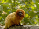 Golden Lion Tamarin (Leontopithecus Rosalia Rosalia), Captive Photographic Print by Dave Watts