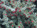 Rockspray Fruit and Leaves (Cotoneaster Horizontalis) Photographic Print by  Consumer Institute/NSIL