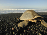 A Mature Female Olive Ridley Sea Turtle (Lepidochelys Olivacea) Photographic Print by Solvin Zankl