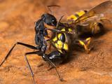 Bull Ant (Myrmecia Piliventris) with European Wasp Prey, Victoria, Australia Photographic Print by Alex Wild