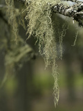 Old Man's Beard Lichen, Acadia National Park, Maine Photographic Print by  Scientifica