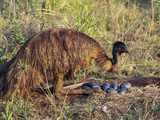 Emu (Dromaius Novaehollandiea) Male at the Nest with Eggs, Queensland, Australia Photographie par Dave Watts