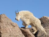 Mountain Goat (Oreamnos Americanus), Mount Evans, Colorado, USA Photographic Print by Tom Walker
