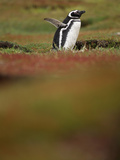 During the Reproductive Period the Magellanic Penguin (Spheniscus Magellanicus) Photographic Print by Solvin Zankl