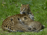 Sri Lankan Leopard (Panthera Pardus Kotiya) Mother and Cubs, Captive Photographic Print by Dave Watts