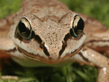 Wood Frog Head and Eyes (Rana Sylvatica), Eastern and Northern North America Photographic Print by David Wrobel